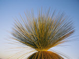 A View of a Xanthorrhoea Species Native to Western Australia