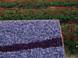 A Bed of Blue Hyancinths Shot against a Background of Red Tulip Fields