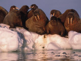 Atlantic Walruses Rest on an Ice Patch