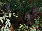 Three Western Lowland Gorillas Sit in the Jungle