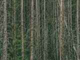 Lodgepole Pine Tree Trunks