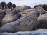 A Group of Atlantic Walruses Bask on the Drifting Ice