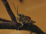Close View of a Grasshopper