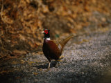 A Ring-Necked Pheasant Warily Crosses a Gravel Road
