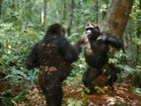 Orphan Lowland Gorillas Compete for Dominance