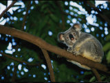 A Koala Bear Clings to a Eucalyptus Tree in Eastern Australia