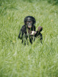 A Young Pygmy Chimpanzee Sits in the Tall Grass