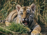 A Young Tiger Lays in the Grass with an Open Mouth