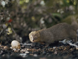 A Mongoose Approaches a Birds Egg on the Ground at Kaena Point Natural Area Reserve on Oahu