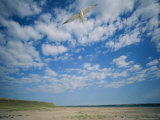 An Endangered Least Tern Soars over the Shores of its Shrinking Habitat