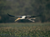 A Painted Stork Takes Flight