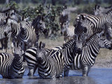 A Herd of Zebras in a River