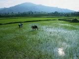 Rice Farmers Cultivate Their Fields Along National Highway 19 Near an Khe