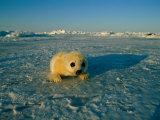 A Newborn Harp Seal Pup in a Yellowcoat  Stares Directly at the Camera