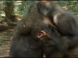 Gorillas Fight for Territory and Dominance
