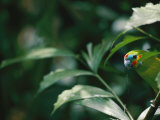 A Fig Parrot Sits on a Tree Branch in Australia