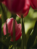Close View of Tulip Bulbs