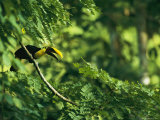 A Chestnut-Mandibled Toucan Perches on a Branch