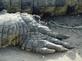 Close View of the Foot of a Crocodile