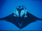 A Manta Ray with Remoras