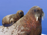 A Young Atlantic Walrus Pup Seeks Refuge on its Mothers Back