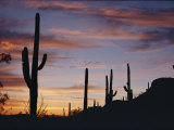 Saguaro Cacti are Silhouetted against the Sky