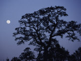 Moonrise over a Silhouetted Tree