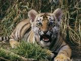 A Captive Tiger Gives a Little Roar