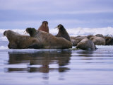 A Group of Atlantic Walruses (Odobenus Rosmarus) Rest on a Pack of Ice