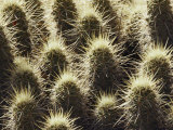 Close-up of a Hedgehog Cactus Patch