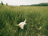 Buffalo Skull in the Grass
