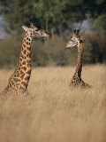 A Pair of Masai Giraffes Stand Above the Brush