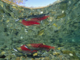 Sockeye Salmon  Also Called Red Salmon