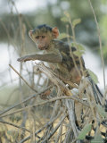 A Young Baboon Sits on Branches