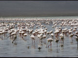 Lesser Flamingos Feed on Algae in the Shallow Waters of Lake Magadi