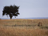 An African Lion Rests Among the Tall Grass