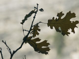 Close View Silhouette of a California Black Oak Leaf
