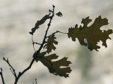 Close View Silhouette of a California Black Oak Leaf