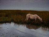Chincoteague Pony Grazing on Southern Assateague Island
