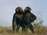 A Pair of Orphan Chimpanzees