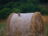 An Australian Kestrel Perches on a Large Bail of Hay