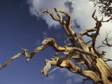 A Gaunt Bristlecone Pine Stands out against the Blue Sky