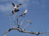 Pink and Gray Galah Cockatoos