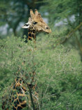 A Reticulated Giraffe Pokes its Head Above a Tree