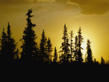 Fir Trees Silhouetted in Early Morning Sunlight at Nabesna