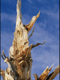 Detail of a Gnarled Bristlecone Pine Tree