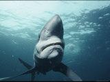 A Blue Shark off the Coast of Rhode Island