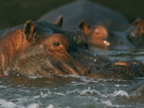 Hippopotamuses Basking in River Water