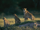 A Group of African Cheetahs Keep a Wary Eye out for Predators and Prey