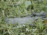 A Close-up of an American Alligator in Georgias Okefenokee Swamp